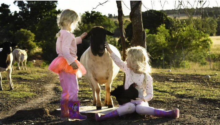Shayloe Dorper Stud - Chloe and Shayli Sloan hang out with pet chicken Black Beauty and one of the sheep.