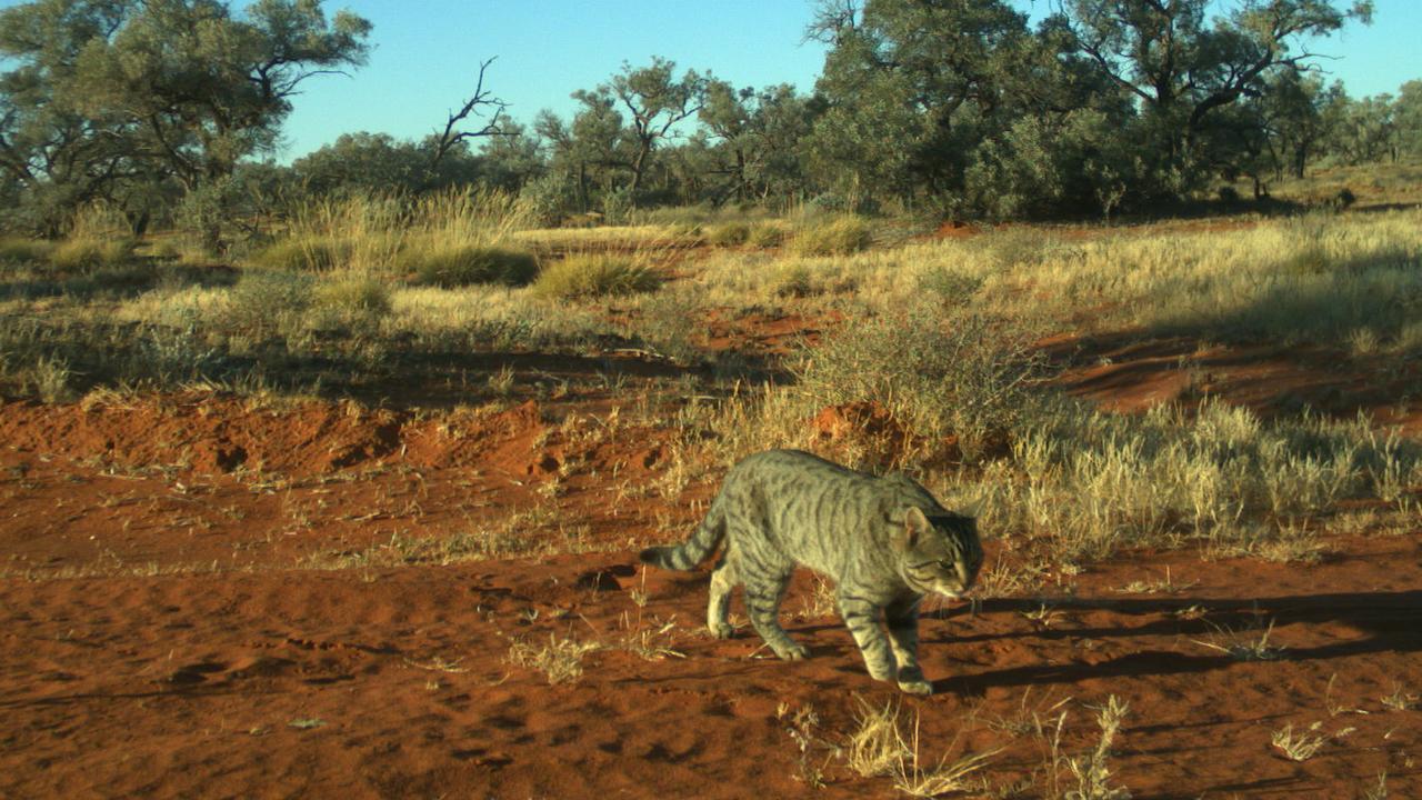 A feral cat stalks through the desert. Picture: Emma Spencer