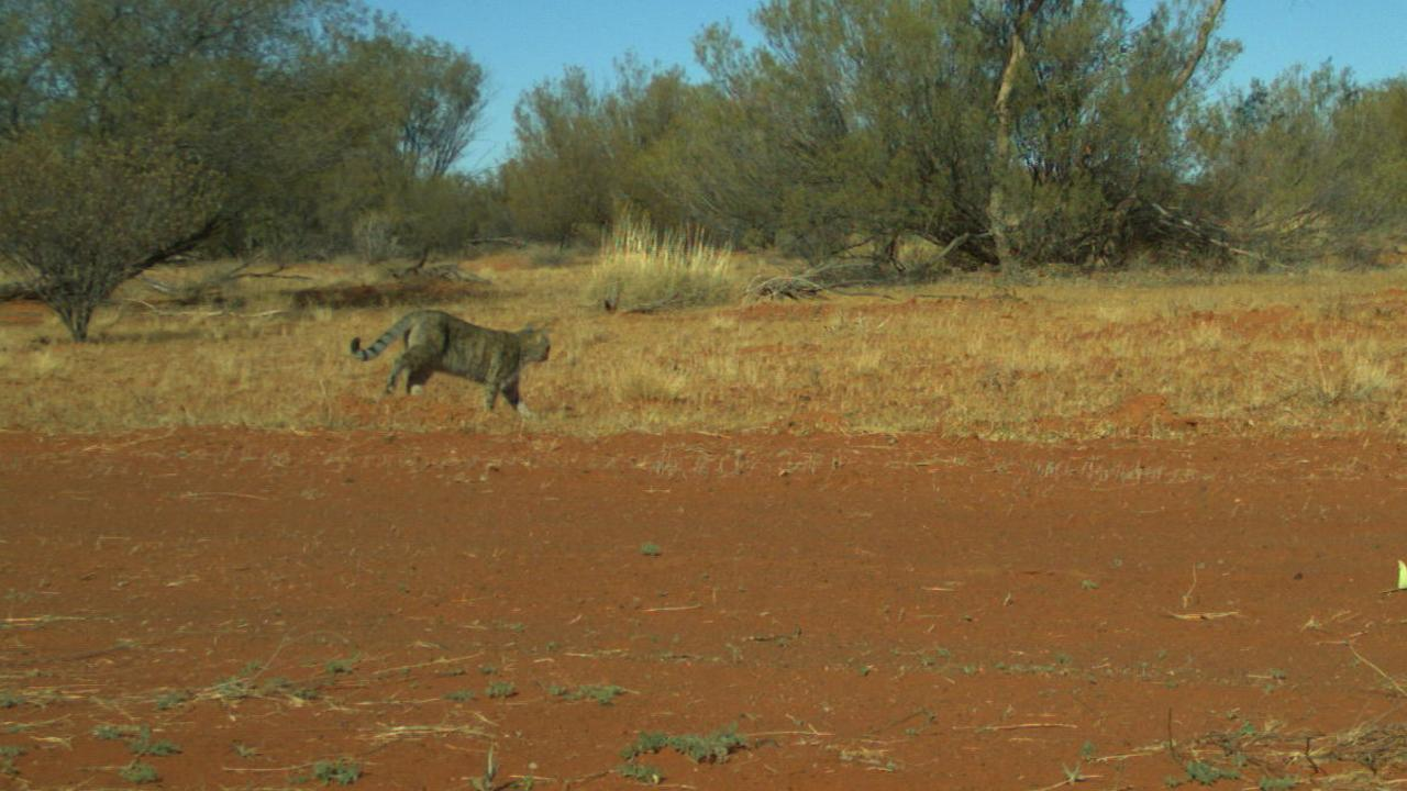 A feral cat darts across red sand in the desert. Picture: Emma Spencer