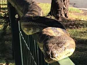 SNAKE SIGHTING: Chilled out 'bat eater' soaks up some sun