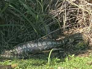 Hungry snake causes a stir in Mackay suburb