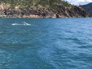 WATCH: Beautiful whale calf wows off Whitsunday Island
