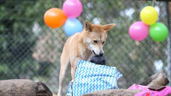 Ipswich's cutest dingoes celebrate big milestone