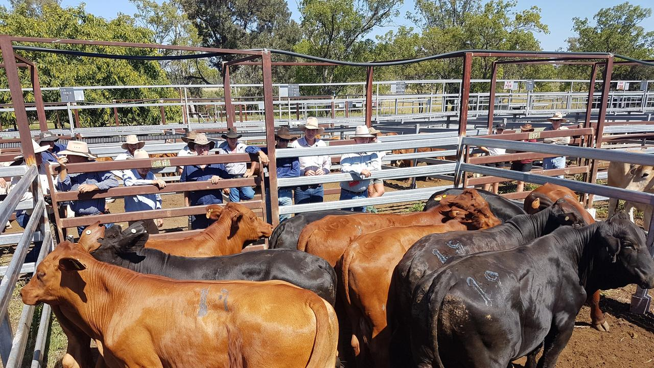 A solid yarding at the Monto saleyards. Photo: Contributed