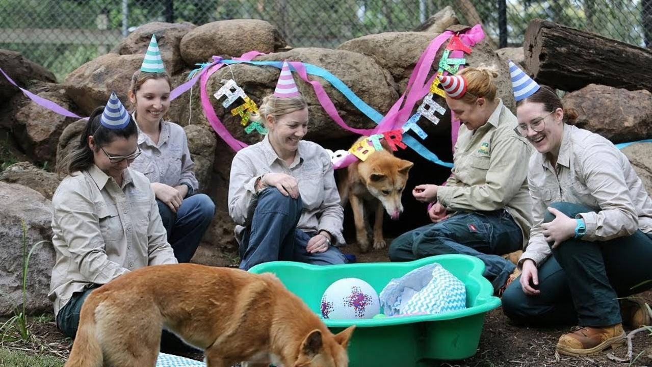 Staff at the Ipswich Nature Centre threw a birthday bash for Lola and Moose in honour of their second birthday on May 28.