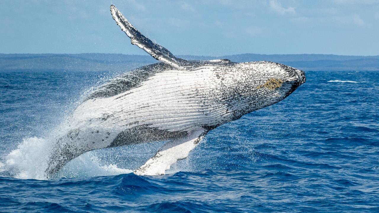 Humpback whales are being sighted more frequently off the Coffs Coast as they make their annual migration into QLD.