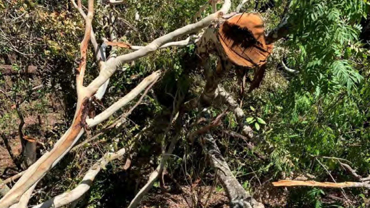 One of nine large trees illegally cut down at Shoal Point. The act of vegetation vandalism is being investigated by Mackay Regional Council.