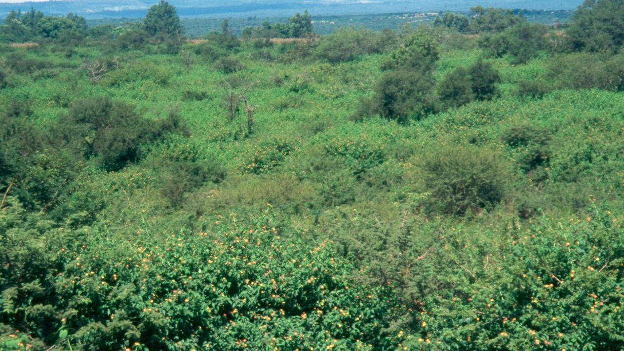 Lantana is one of the most prolific weeds in Queensland.