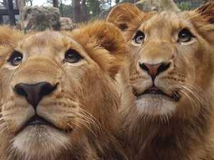 Zookeeper critical after being bitten on head, neck by lion