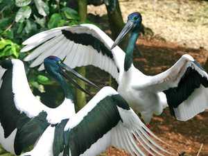 BRIGGSY'S BIRDS: Australia's only stork is impressive