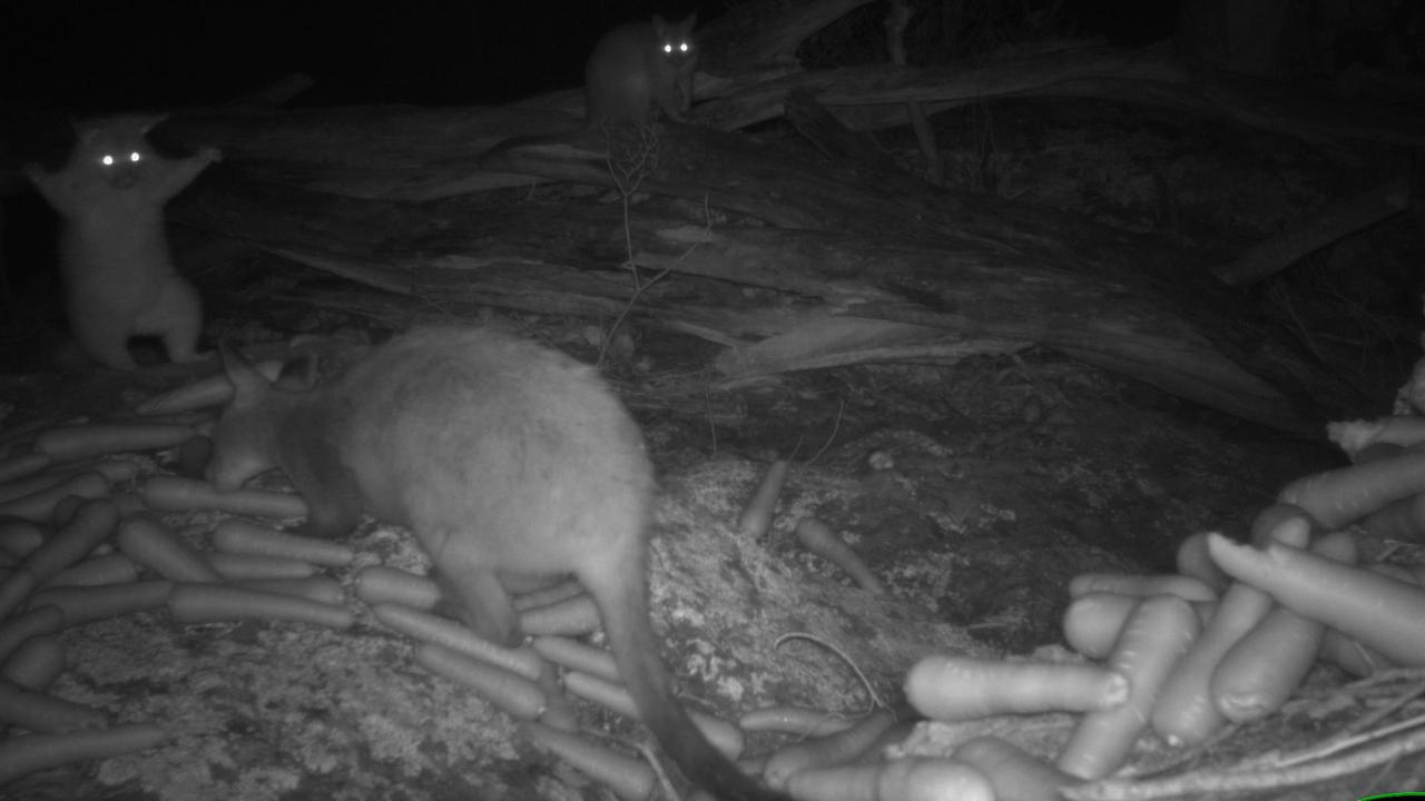Oi! A possum reacts to a wallaby eating at a food drop within Curracabundi National Park.