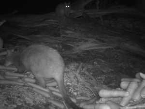 Possum v wallaby: Hidden camera shows skirmish over food