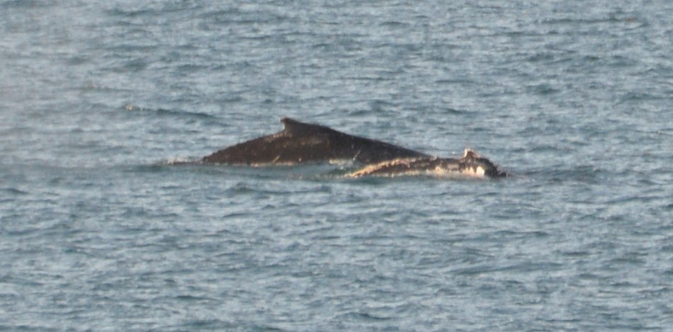 Humpback whales have been spotted off the coast of Hervey Bay.