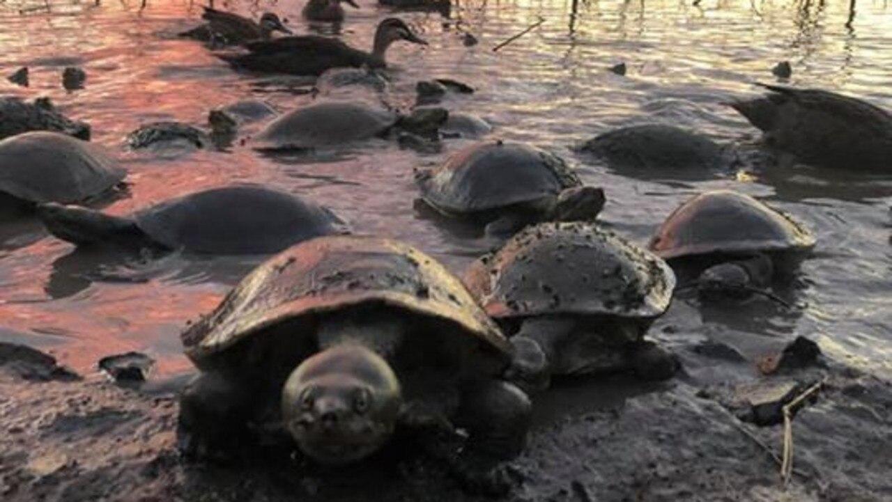 HEADING FOR LAND: Tyler Tolhurst took this photo of turtles down at the lagoon at Rockhampton Botanic Gardens. Picture: Tyler Tolhurst