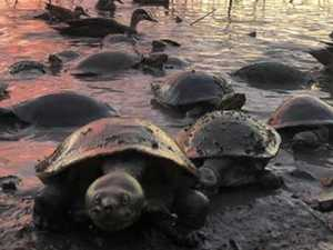 READER PICS: Turtles captured heading for dry land