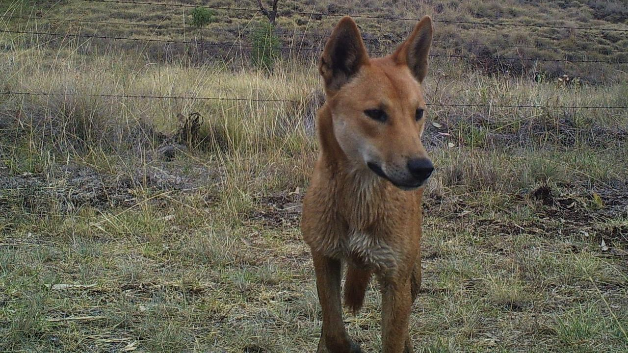 WORRIED: A wild dog's change in behaviour is causing concern for residents in parts of Berserker.