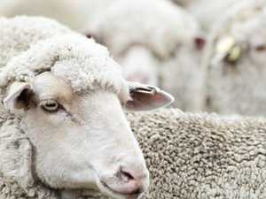 Sheep flock hits 113 year low, fears for end of an era