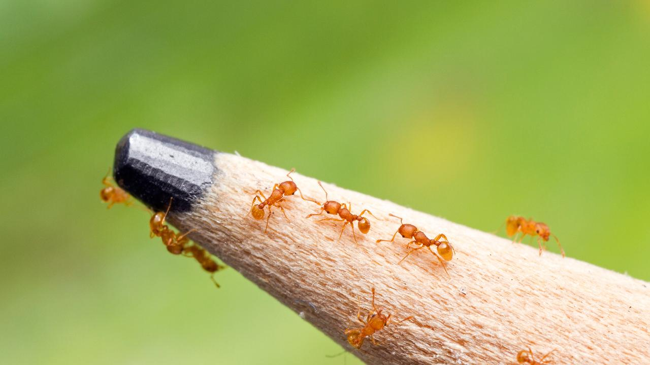 INVASIVE PEST: Changes to Queensland's fire ant zones have been announced.