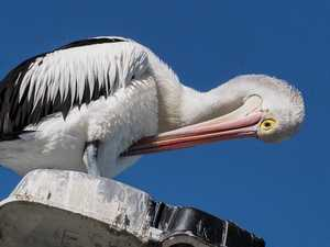 Pelicans welcomed back to iconic bridge