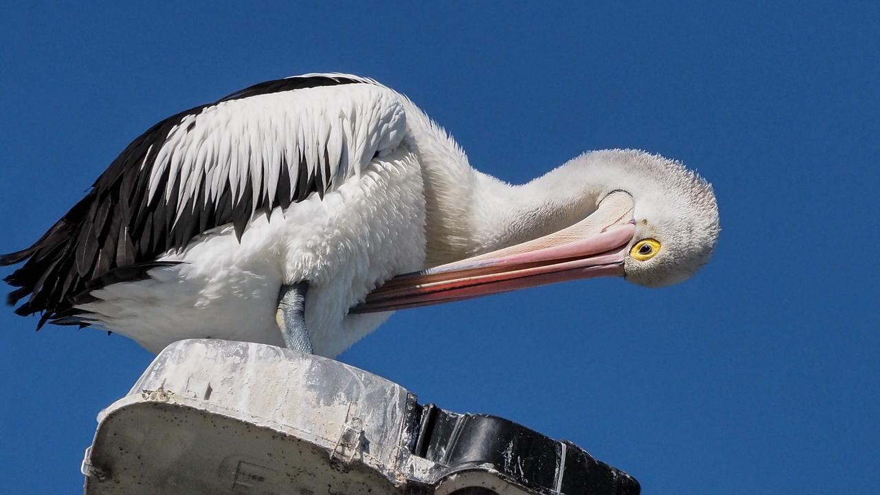 Pelican preening itself on Bribie Bridge Picture: Marj Webber