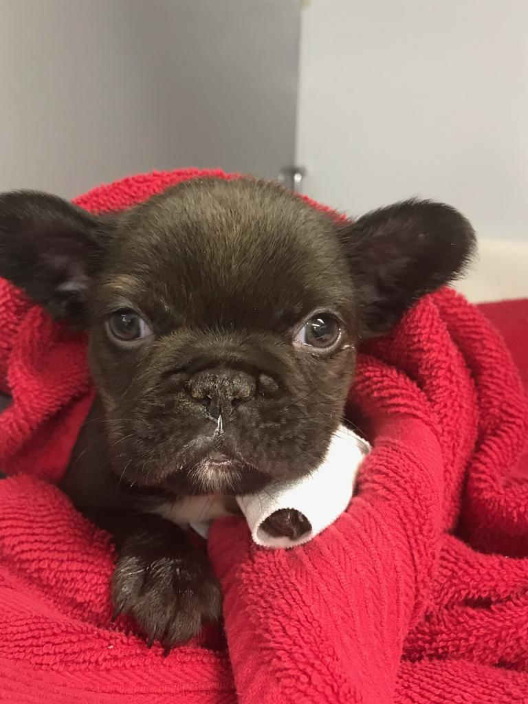 Obi, the 7-week-old French Bulldog puppy had only been in his new home for one day before he became very ill, requiring critical care treatment. Picture: Dr Kate Bruce
