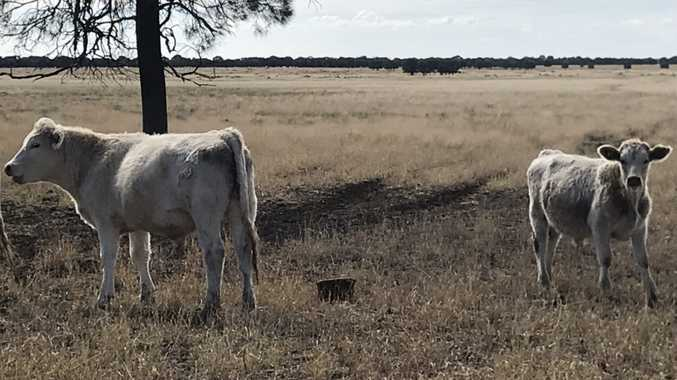Steers stolen from property west of Toowoomba