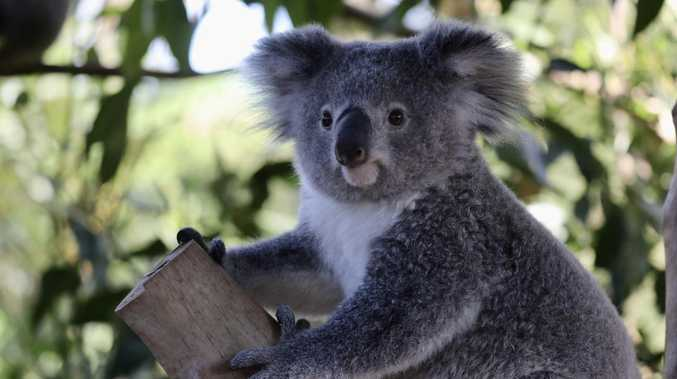 Gladstone's koalas could help the entire species survive