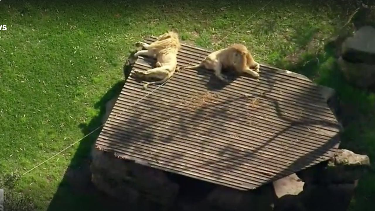 The two lions, pictured in their enclosure at Shoalhaven Zoo. Picture: 9NEWS