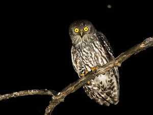 SAVE ME: Barking owl on endangered bird list