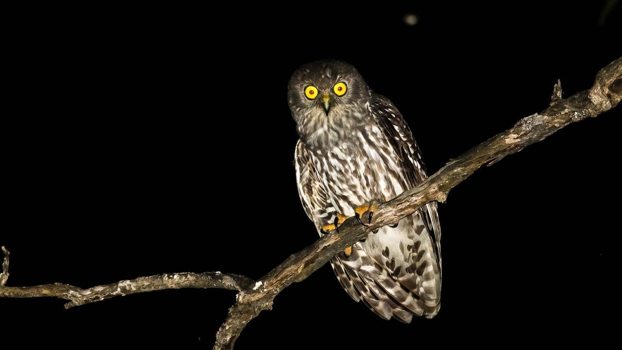 The barking owl at night. PHOTO: PETER KNOCK.