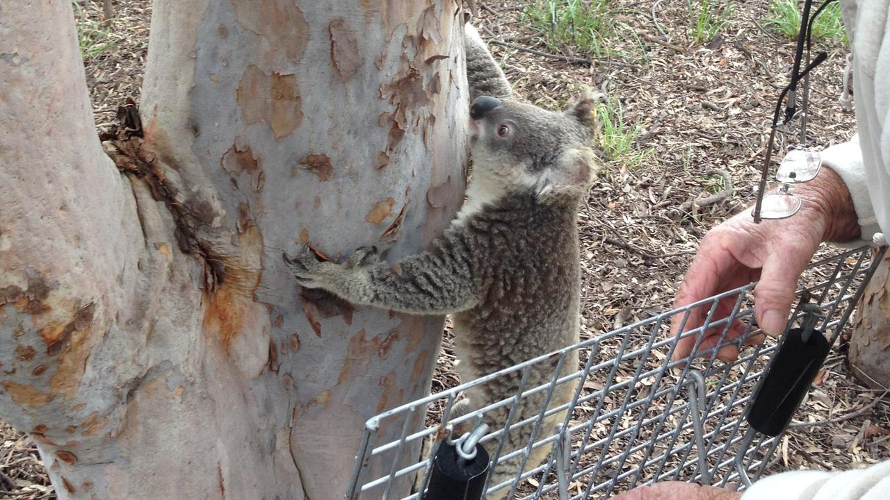 After 24 hours in hospital, this koala was returned to Granite Belt Wildlife Carers in good health and released in a safe area outside of town.