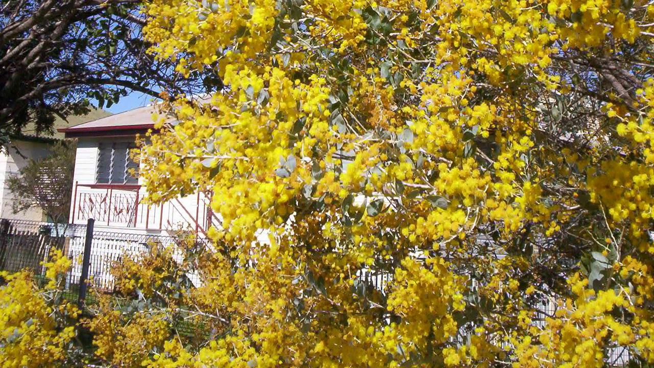 FEATURE PLANT: Acacia podlayriifolia, which is known as the Mount Morgan Wattle or the Queensland Silver Wattle, was the floral emblem of the old Mount Morgan Shire Council.