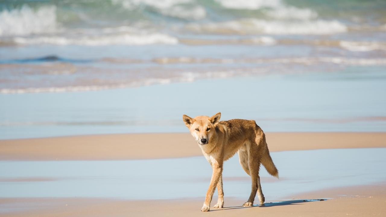 More than 300 dingoes live on Fraser Island. Photo: Cameron Zegers