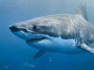 4m white shark scares dive boat crew
