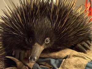 Echidna finds himself in prickly situation