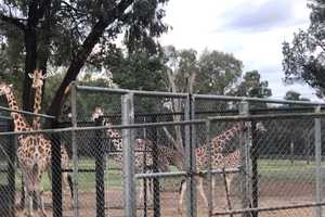 Peter Martignago of P & S Haul'em transported these giraffes from Western Plains Zoo, in Midwestern New South Wales, down to Taronga Zoo in North Sydney.