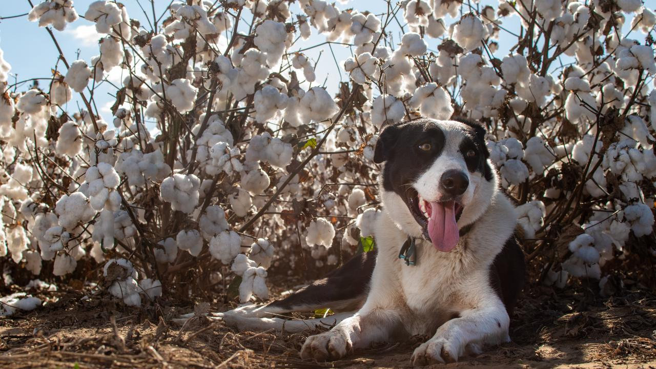 Badger the border collie takes a break in the cotton field. PHOTO: ALI KUCHEL