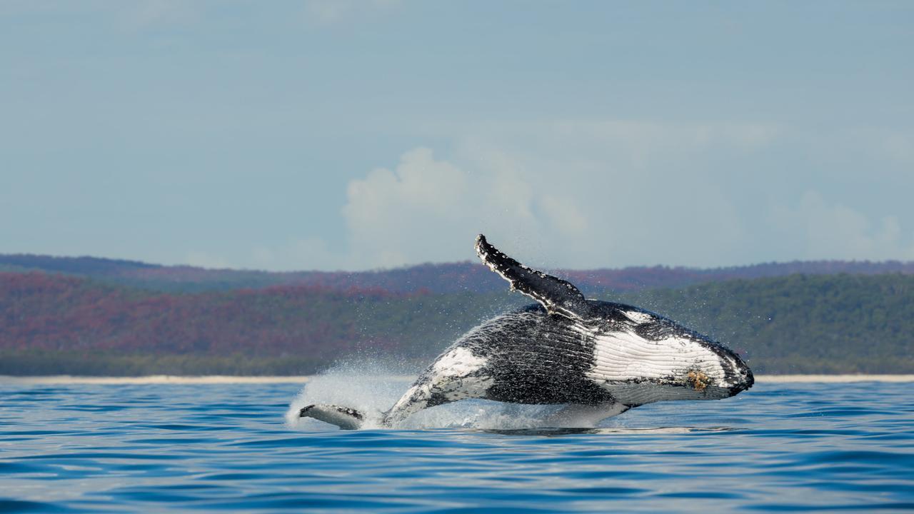 A humpback whale breaching off Queensland.