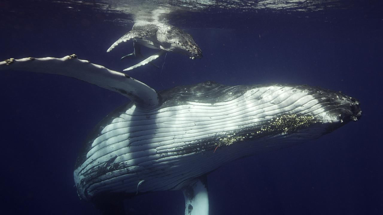 A humpback whale calf and its mother on their southern migration in a scene from the documentary TV series Ocean Odyssey: A Journey Down the East Australian Current.