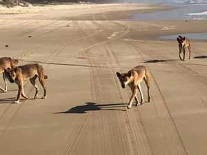 Take it off: Petition to ban 'cruel' dingo collars takes off