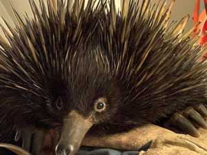 Lucky echidna suffers minor injuries after a wild ride