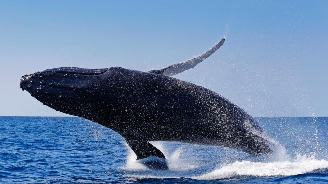 A whale breaching off the Sunshine Coast while on a whale watching tour with Sunreef Mooloolaba.