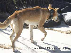 Shock photos spark fear for 'starving' dingo