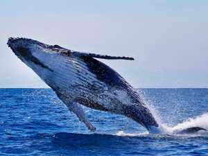 Whales making a splash brings tourists to Coast