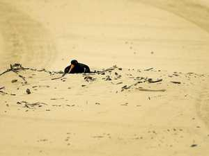 Why these birds are leaving South Ballina beaches