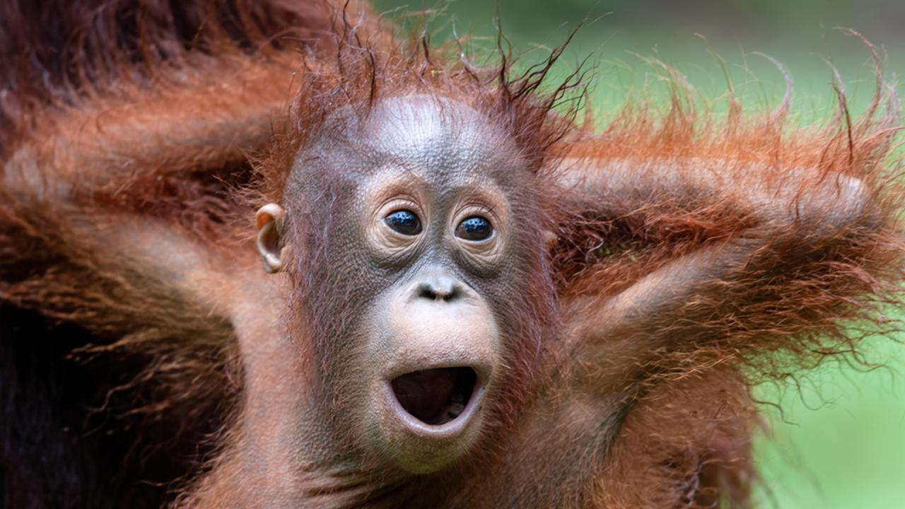 A photographer spent ten years living in the rainforest to document the lives of newborn orang-utans.