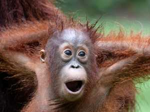 World's most adorable orang-utans revealed