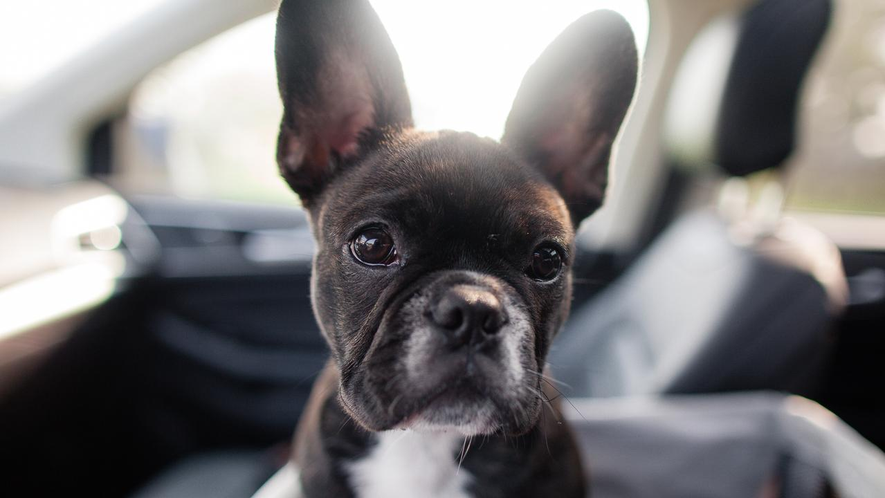 38 french bulldog puppies found dead in Ukraine cargo plane