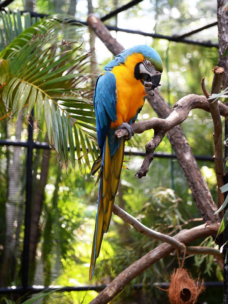New blue and golden Macaws at Rockhampton Zoo. Photo Allan Reinikka / The Morning Bulletin
