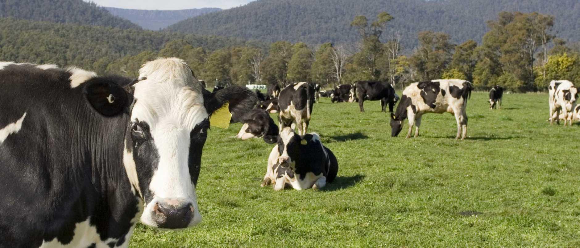 Tasmanian Cows